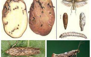 Картофельная моль — меры борьбы при хранении