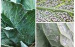 Как бороться с белокрылкой на капусте