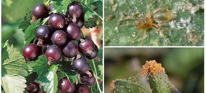 Борьба с паутинным клещом на смородине