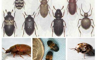 Как избавиться от жука кожееда в квартире