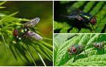 Описание и фото зеленой падальной мухи