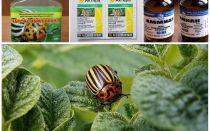Как навсегда избавиться от колорадского жука на картошке и чем его травить