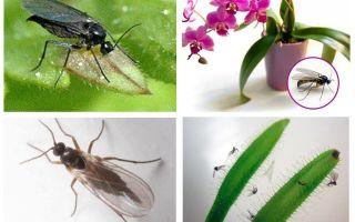 Как избавиться от грибных комариков (сциарид)