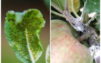 Как избавиться от тли на яблоне