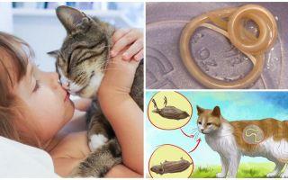 Передаются ли глисты от кошек человеку