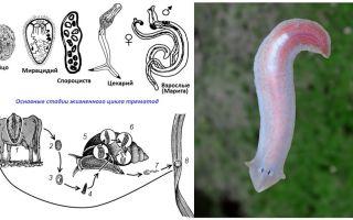 Кровеносная система у плоских червей
