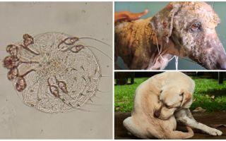 Симптомы и лечение подкожного клеща у собак