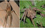 Описание и фото паука бродяги