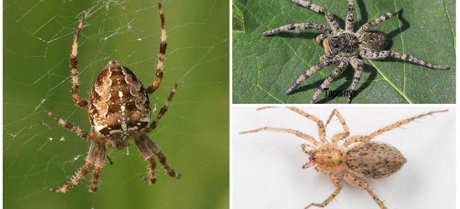 Описание и фото пауков Ленинградской области