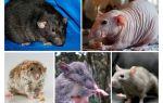 Разновидности крыс