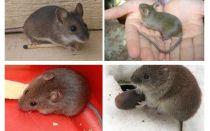 Домовые мыши