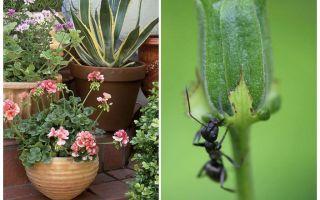 Как вывести муравьев из цветочного горшка