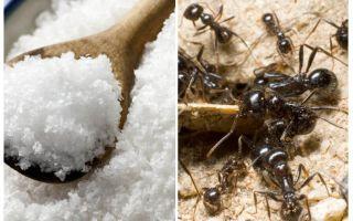 Соль против муравьев на огороде