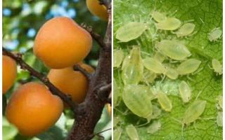 Как избавиться от тли на абрикосе