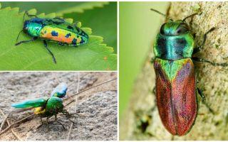 Описание и фото жука златка