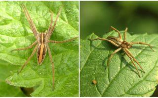 Описание и фото пауков Саратовской области
