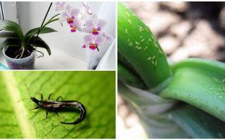 Как избавиться от белых мохнатых жучков на орхидеях