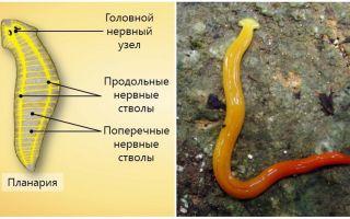 Особенности строения нервной системы у плоских червей