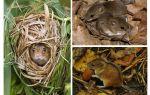Лесные мыши