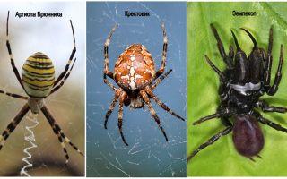 Описание и фото пауков Беларуси