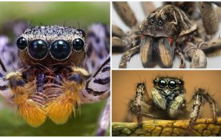 Сколько глаз у паука
