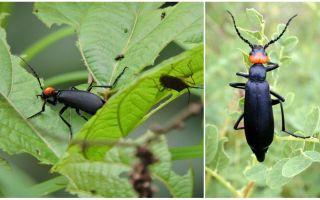 Как избавиться от черных жуков на картошке