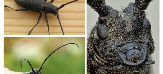 Большой и малый черный еловый усач