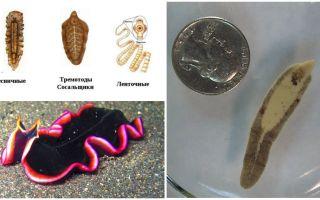 Представители плоских червей