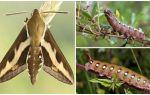 Описание и фото гусеницы винного бражника