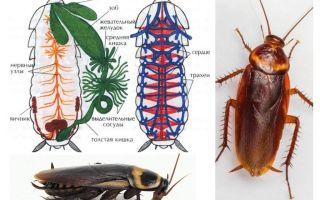 Строение таракана — внешнее и внутреннее