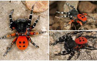 Описание и фото пауков в Крыму