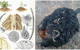Борьба с нематодами в почве