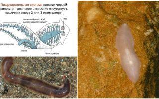Питание и пищеварение у плоских червей