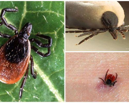 Как выглядит укус клеща на теле человека, фото и симптомы