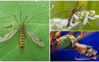 Большие комары с длинными ногами (долгоножки)