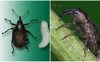 Защита капусты от насекомых