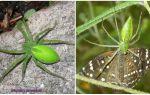 Зеленые пауки в России
