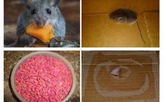 Как вывести мышей из гаража