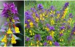Описание и фото растений-паразитов