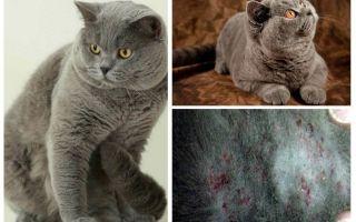 Как вывести блох у британского кота