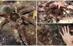 Описание и фото паука птицееда голиафа