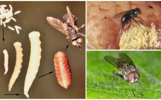 Что будет, если съесть яйца или личинки мухи