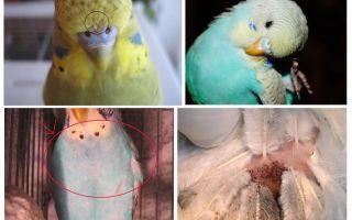 Блохи у волнистых попугаев