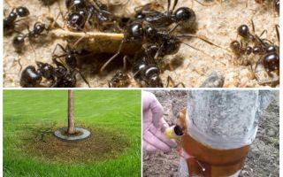 Ловушки для муравьев на деревьях своими руками