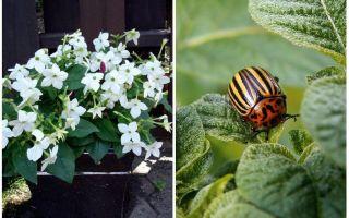 Душистый табак против колорадского жука