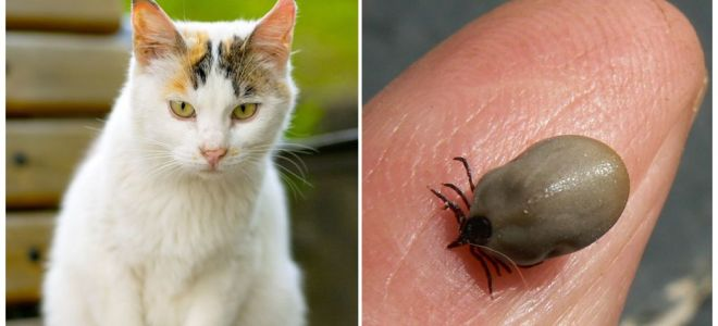 Что делать, если кота укусил клещ