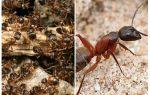 Лесные рыжие муравьи