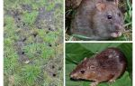 Земляная крыса