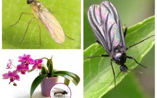 Что делать, если в орхидеи завелись мошки