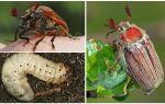 Майский жук – польза и вред